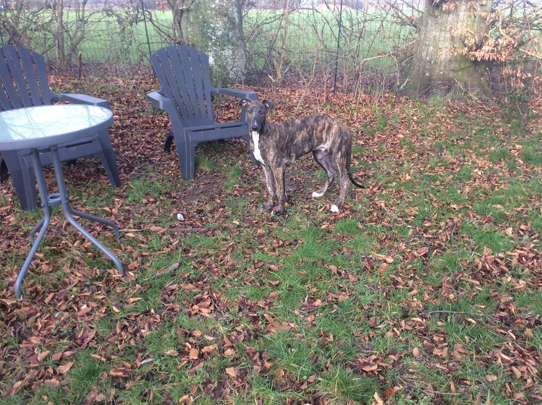 Greyhound Eikica Brave Billy billede 12