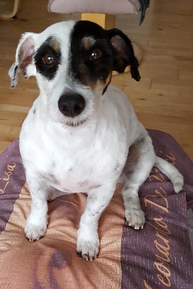 Jack russell terrier Anton billede 2