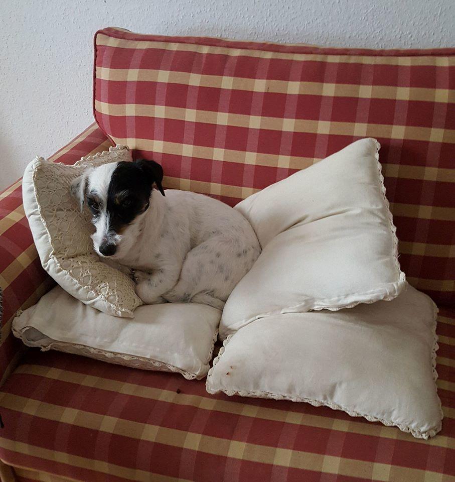 Jack russell terrier Anton billede 3