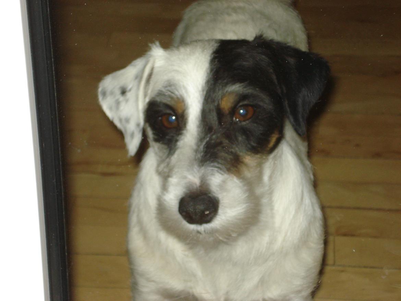 Jack russell terrier Anton billede 5