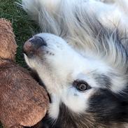Alaskan malamute Nanoq