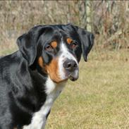 Grosser schweizer sennenhund Olga