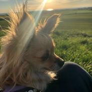 Chihuahua Drala