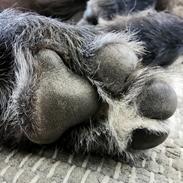 Irsk ulvehund Uffe