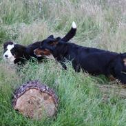 Berner sennenhund Terplinggaard's Pacha (Babuska)