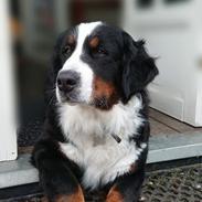 Berner sennenhund (A)Meena