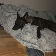 Hollandsk hyrdehund Avery