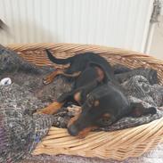 Blanding af racer Abbi portugisisk gadehund
