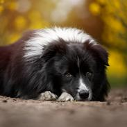Border collie Mason
