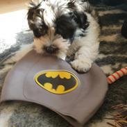 Bichon havanais Batman