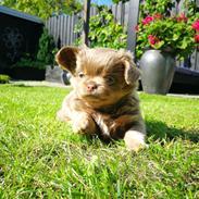 Chihuahua Oda