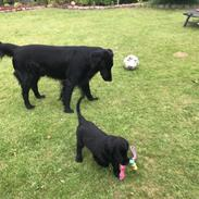 "Flat coated retriever Tanima Flatcoats  - Feels like Fire ""Ollie"""
