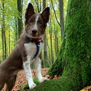 Border collie Tweed (Make it count Globetrotter)