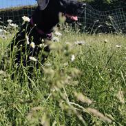 Labrador retriever Abby