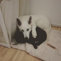Hvid Schweizisk Hyrdehund Egeborgs amasing peppe (Herman)