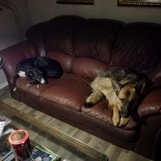 Schæferhund Alaya