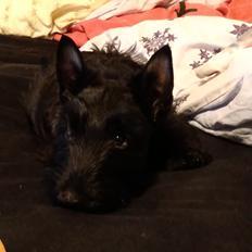 Skotsk terrier Nicla Missi Ballou (Balder)