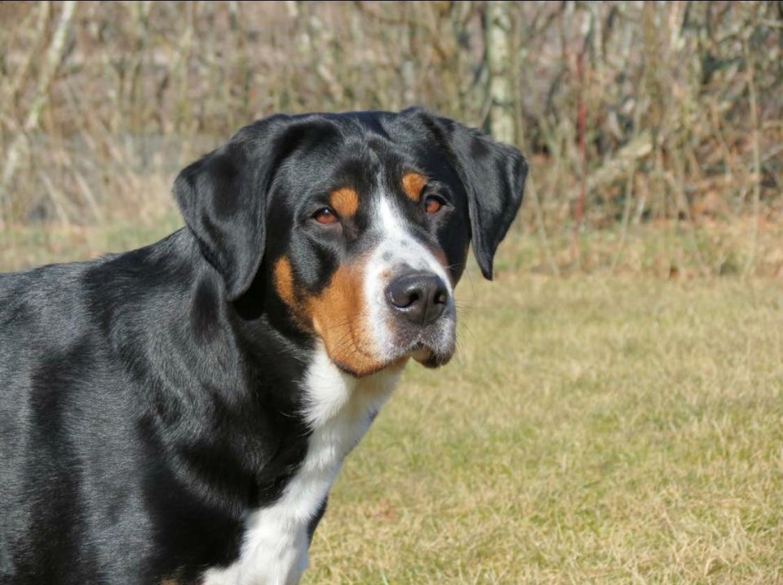 Grosser schweizer sennenhund Olga billede 3