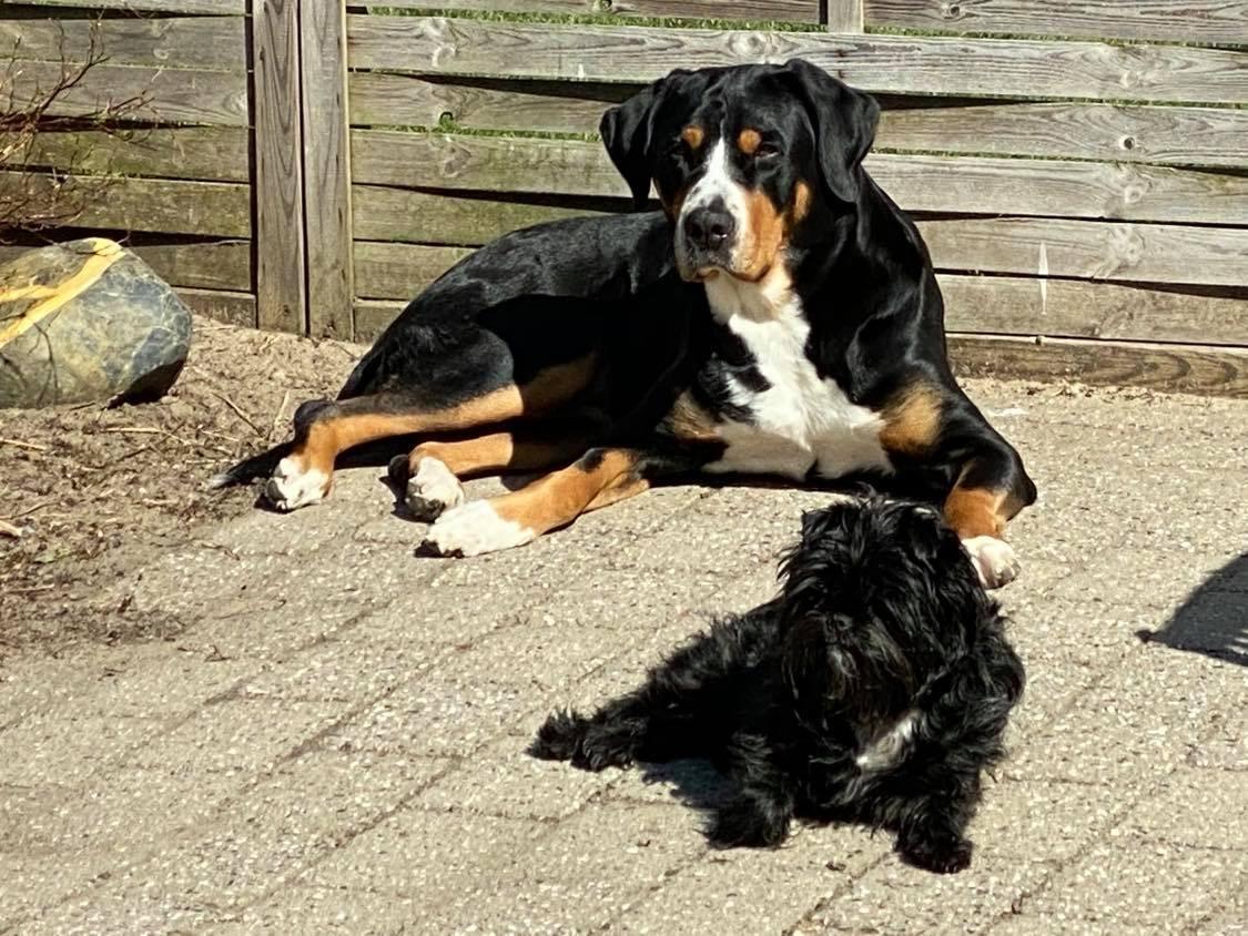 Grosser schweizer sennenhund Olga billede 7