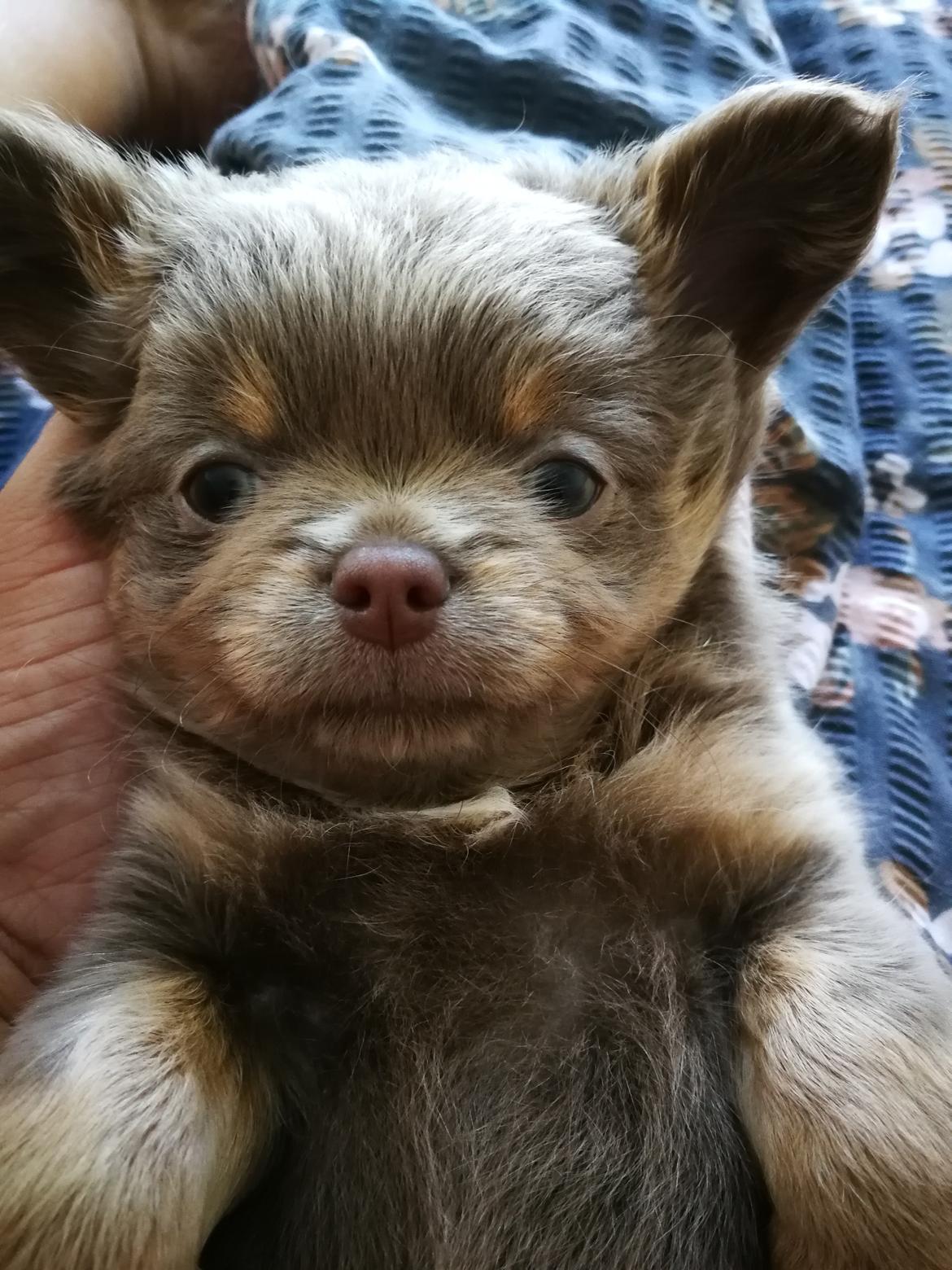 Chihuahua Oda billede 2