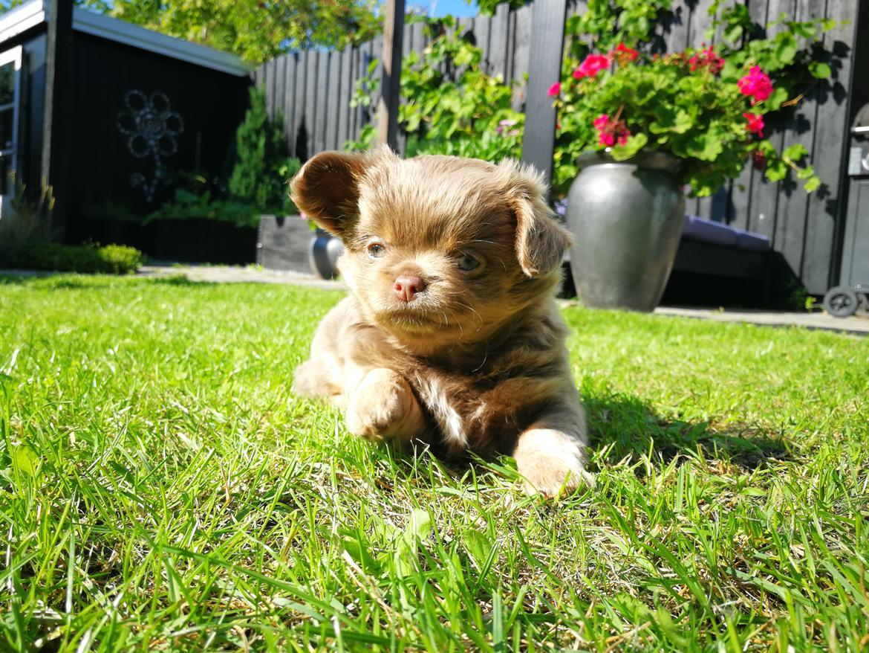 Chihuahua Oda billede 3