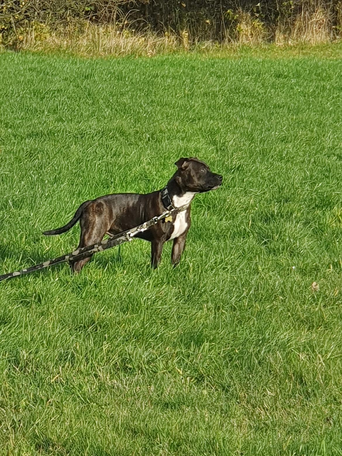 Staffordshire bull terrier Thor billede 6