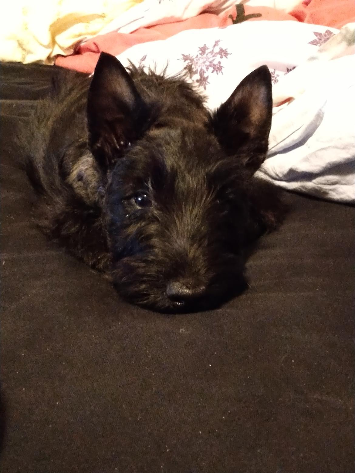 Skotsk terrier Nicla Missi Ballou (Balder)  billede 4