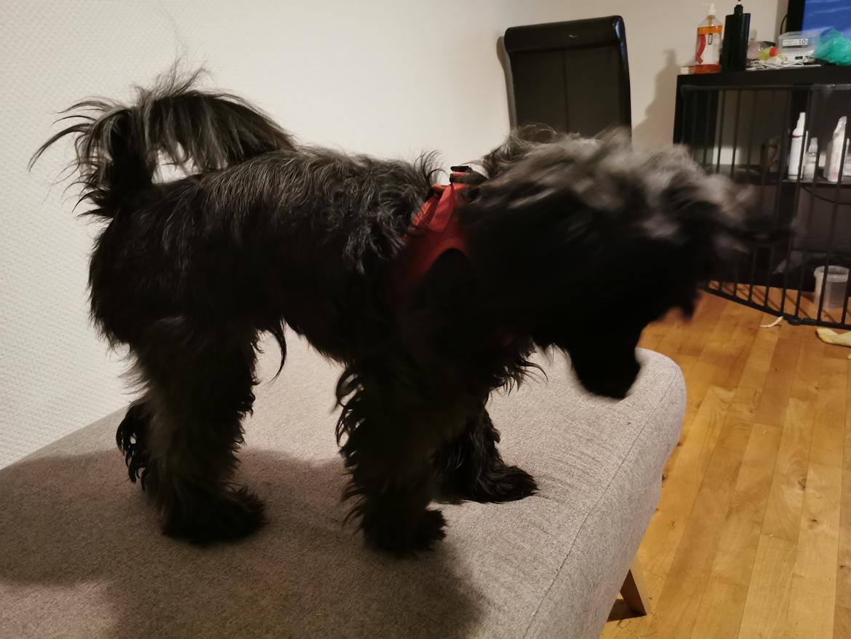 Chinese crested powder puff Coda - næsten nyfriseret hund 💕💕💕 billede 24