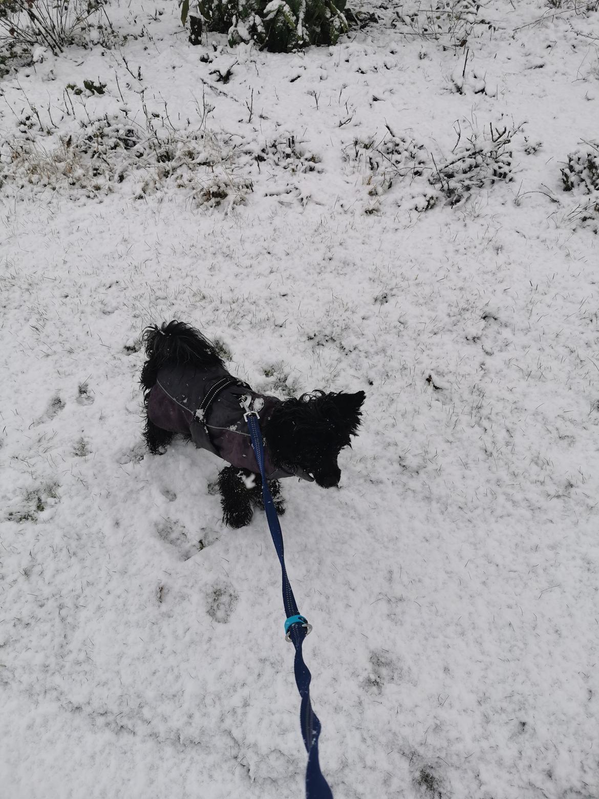 Chinese crested powder puff Coda - codas første sne i år 13\1 2021  billede 25
