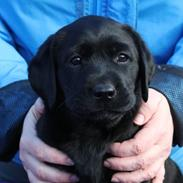 Labrador retriever Glorylines Hot In Heels (Hollie)