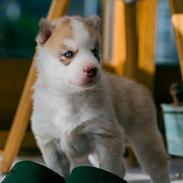 Siberian husky Mesmocan Red Sixteen (Luna)