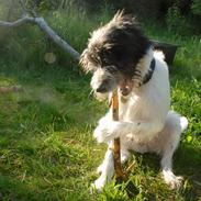 Blanding af racer Hund nr 008