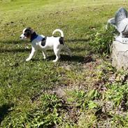 Dansk svensk gaardhund Sofus