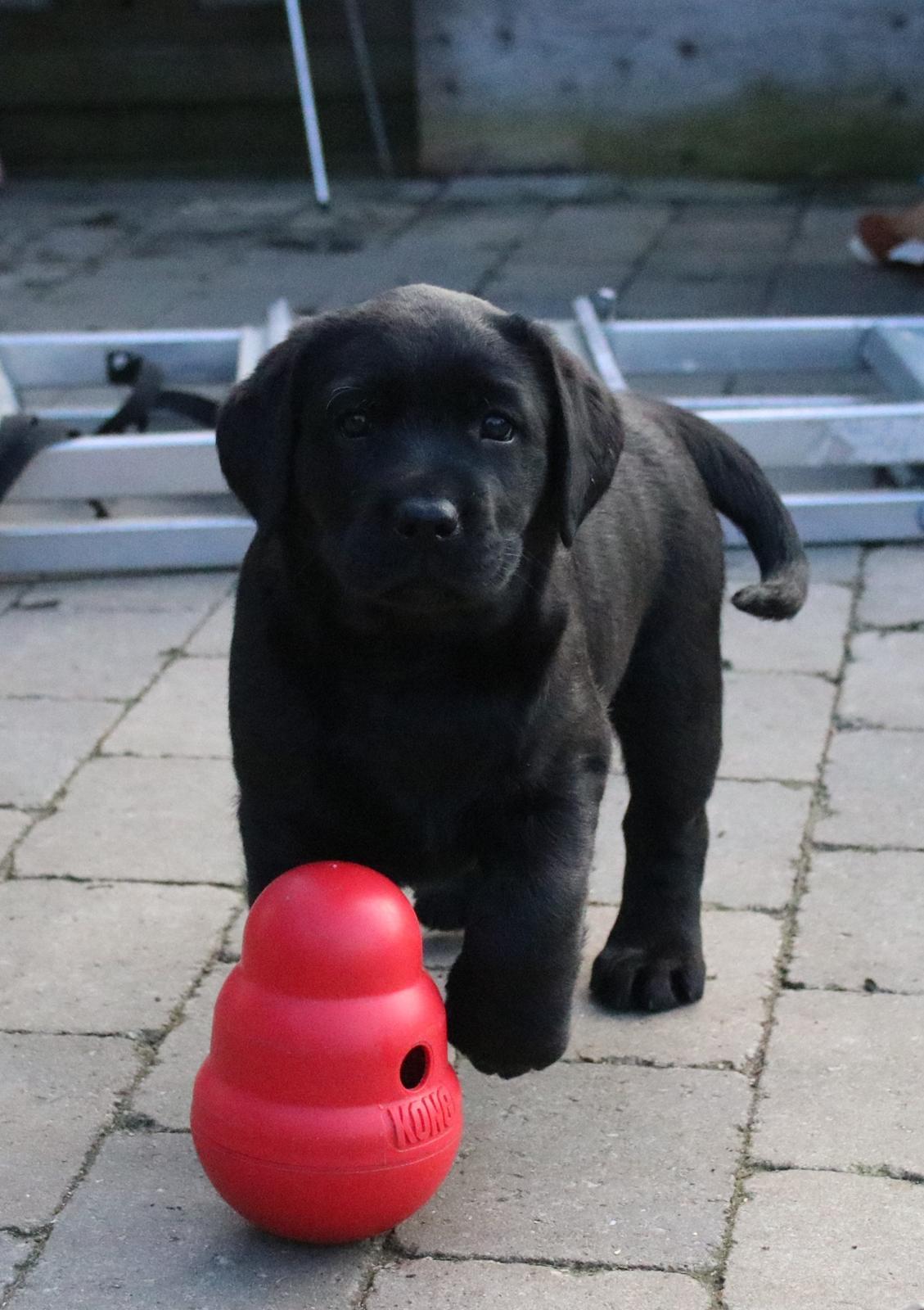 Labrador retriever Glorylines Hot In Heels (Hollie) billede 9