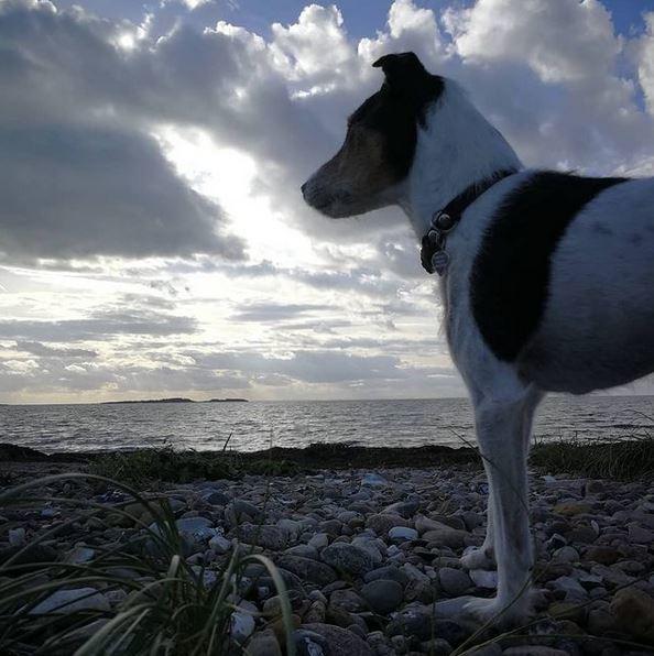Jack russell terrier Hunni billede 3