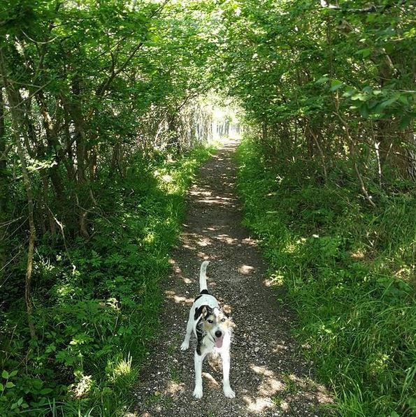Jack russell terrier Hunni billede 4