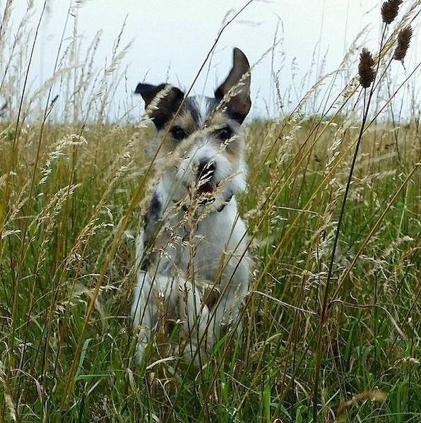 Jack russell terrier Hunni billede 8