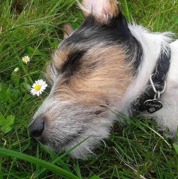 Jack russell terrier Hunni billede 9