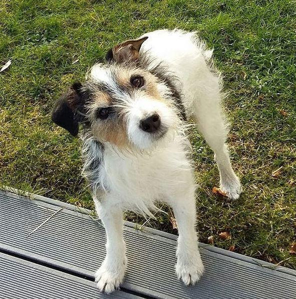 Jack russell terrier Hunni billede 2