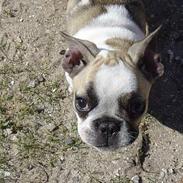 Fransk bulldog Bailey