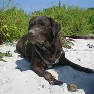 Labrador retriever Nougat