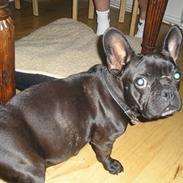 Fransk bulldog Chilli