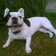 Fransk bulldog Gizmo