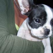 Fransk bulldog Odet