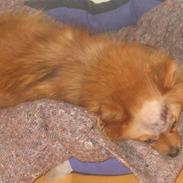 Pomeranian Foxy