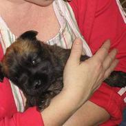 Irish softcoated wheaten terrier Bess [R.I.P.]
