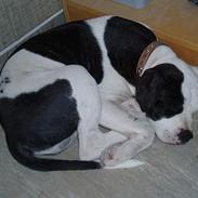Amerikansk bulldog Dario *R.I.P.*
