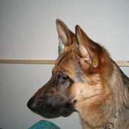 Schæferhund Maegaard's Falco R.I.P