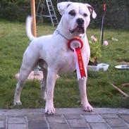 Amerikansk bulldog Margrethelund's Kenzo