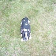 Fransk bulldog sally
